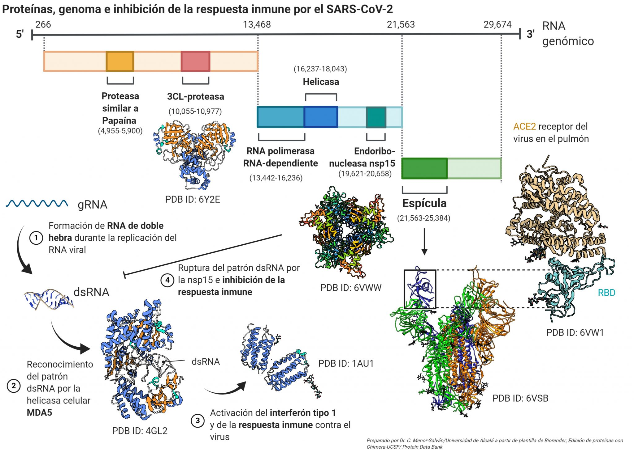 This image has an empty alt attribute; its file name is proteinas-nsp15-SARS-CoV-2-2048x1463.jpeg